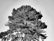 Pine Tree B and W.jpg