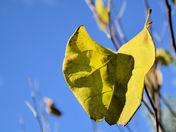 Autumn Leaf of a Redbud Tree.JPG