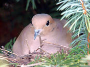 Mourning Dove 2 March 31, 2011.JPG