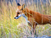 Red fox on the Dempster