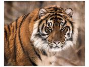 Sumatran Stare Down