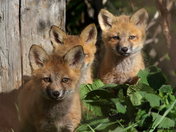 Red fox pups (Vulpes vulpes)