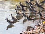 Sandpiper flock series