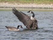 Goose stretching on the pond