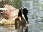 Goose & gosling