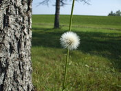 Lone dandelion gone to seed