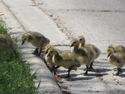 Goslings up the curb