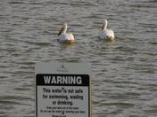These pelicans don't seem to mind the rules.