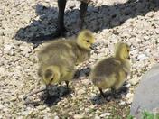 Gosling, Winnipeg pond Spring 2010
