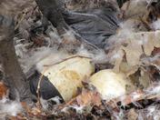 Goose eggs upclose
