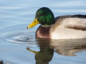 Mallard with water droplet closeup