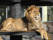 Lion Xerses of Winnipeg Assiniboine zoo