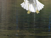Gull jumping off of water