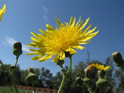 Dandelion wanting to be like a sunflower