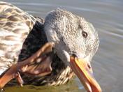 Duck closeup scratching chin.jpg