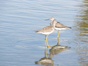 Sandpiper duo pond edge.jpg