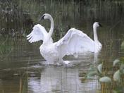 Trumpeter Swan - Grundy Lake