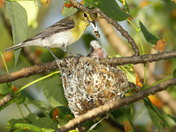 Yellow-throated Vireo 'house cleaning'