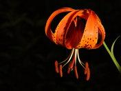 Michigan Lily, orange on black