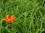 Wood Lily, against the green