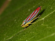 Red-banded leafhopper macro