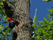 Red, white and black bird