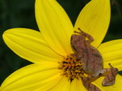 Spring Peeper on Woodland Sunflower