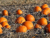 Pumpkins in late November, waiting for harvest