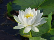Fragrant Water Lily