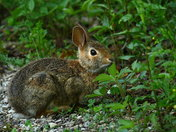 Eastern Cottontail nibbling on a wild strawberry