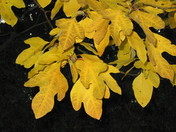 Golden Sassafrass leaves
