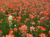 Field of Indian Paintbrush, Texas