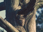 roosting Eastern Screech Owl in old Red Cedar tree, Rondeau