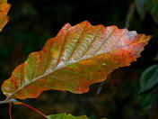 Chinquapin Oak leaf in autumn