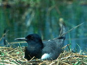 Black Tern on nest near Erieau, Ontario