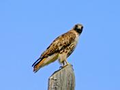 redtail haawk