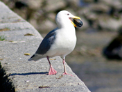 gull with shell