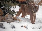 Cougar - The winter look: lean and mean