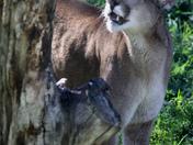 Cougar 3