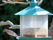 House Finch - part food critic part drama queen