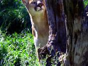 Coy Cougar