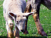 Baby Animals 3 - Lamb