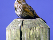 Songbird 2