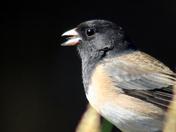 Sonbird 3 - Junco
