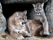 What's better than one cougar in a spring den?