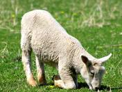 kneeling lamb