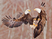 Eagles at Sheffield Mills, Nova Scotia