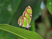 Bamboo Page Butterfly