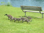 Geese at the Welland Canal