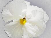 white pansy.JPG